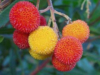 """Résultat de recherche d'images pour """"l'arbouse fruit"""""""